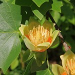 600px-Liriodendron_tulipifera_tulip_close